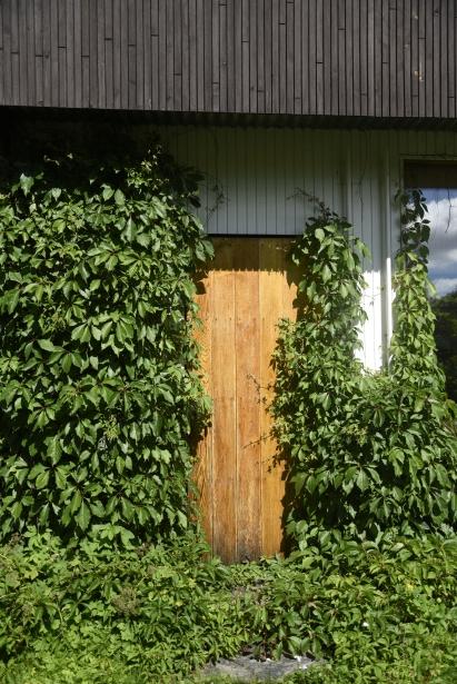 vildvin i Alvar Aaltos trädgård.