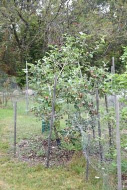 Äppelträd i skydd.