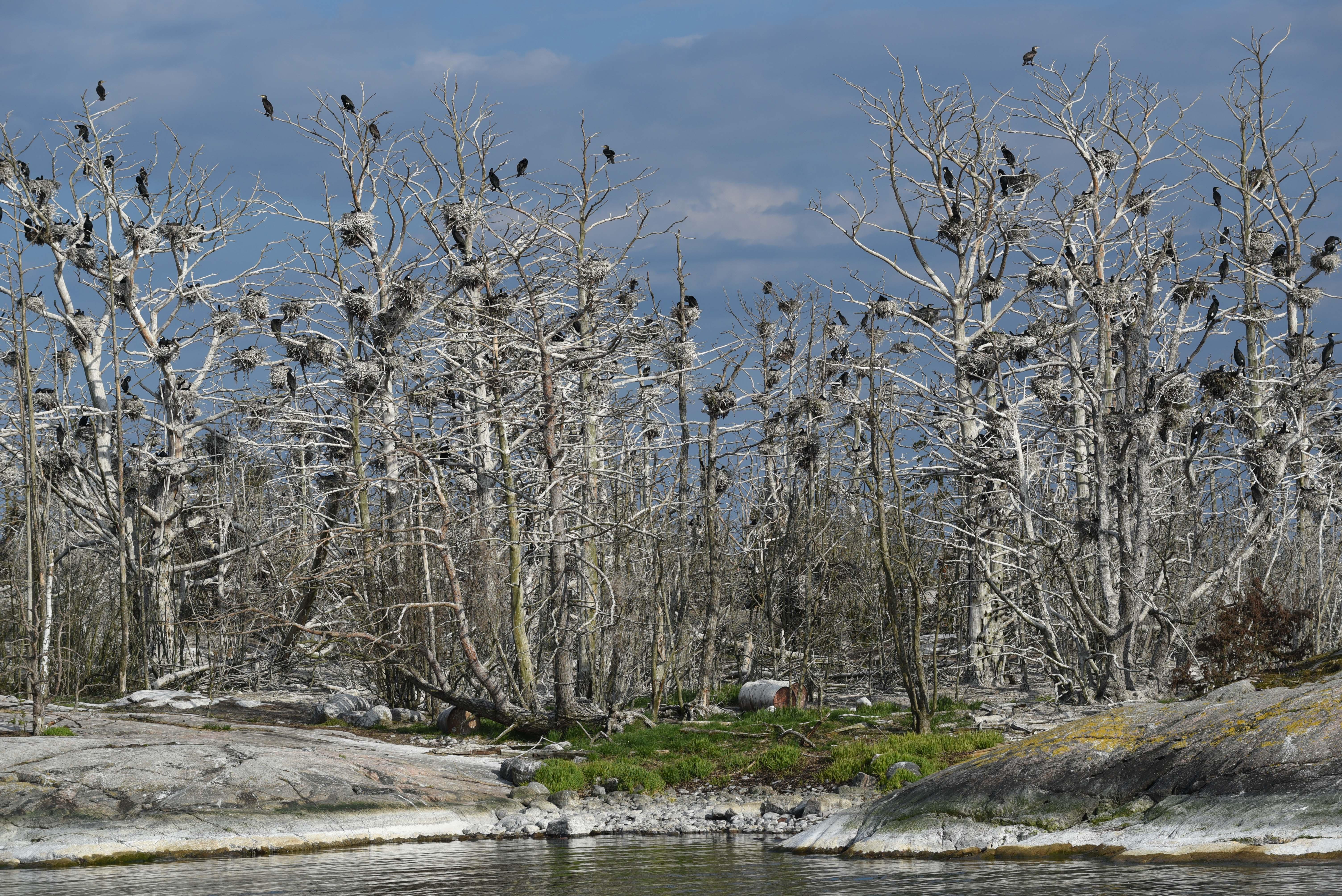 skarvar som sitter i träd på en ö i St Annas skärgård