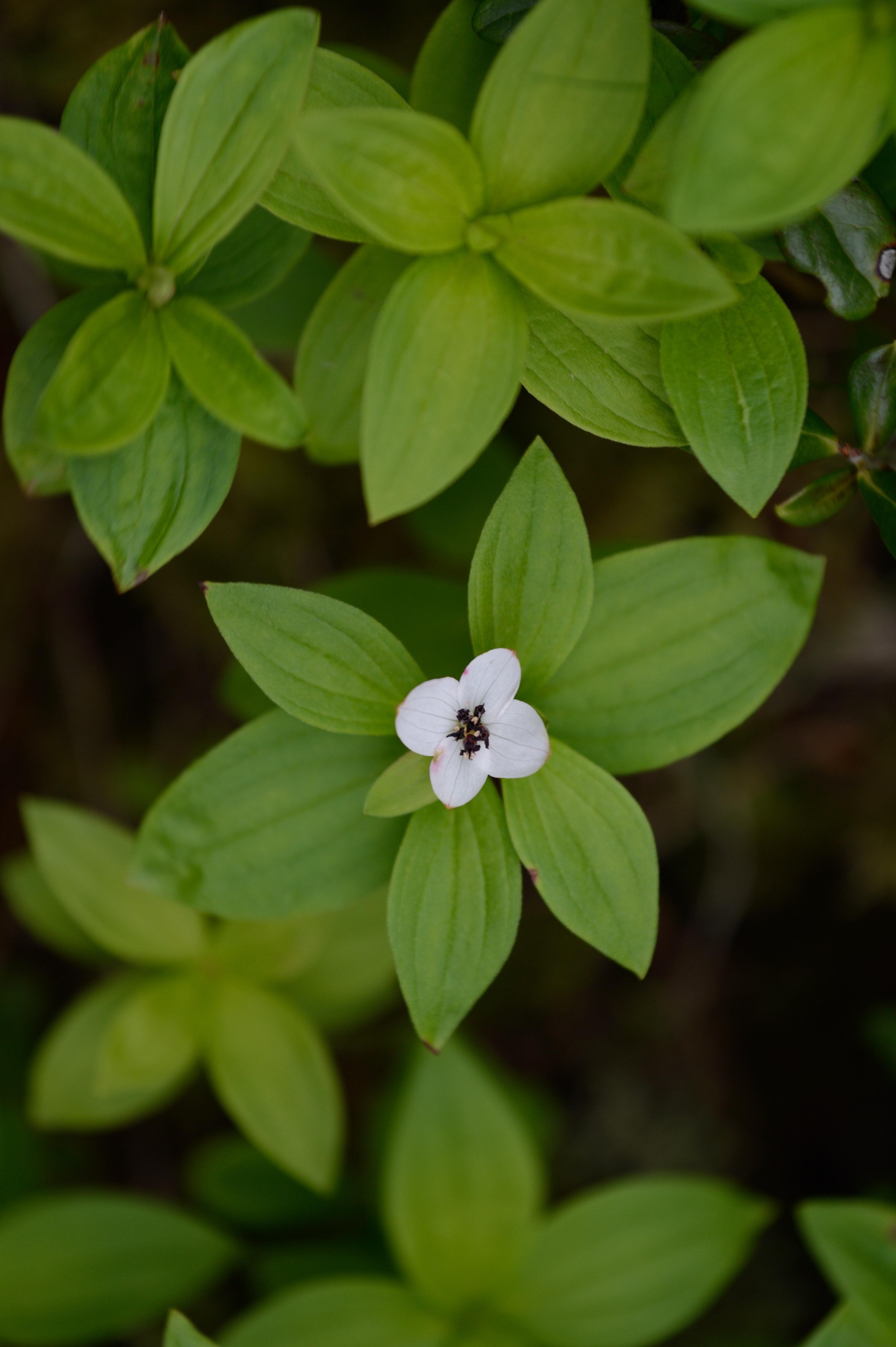 Hönsbär Cornus suecucia