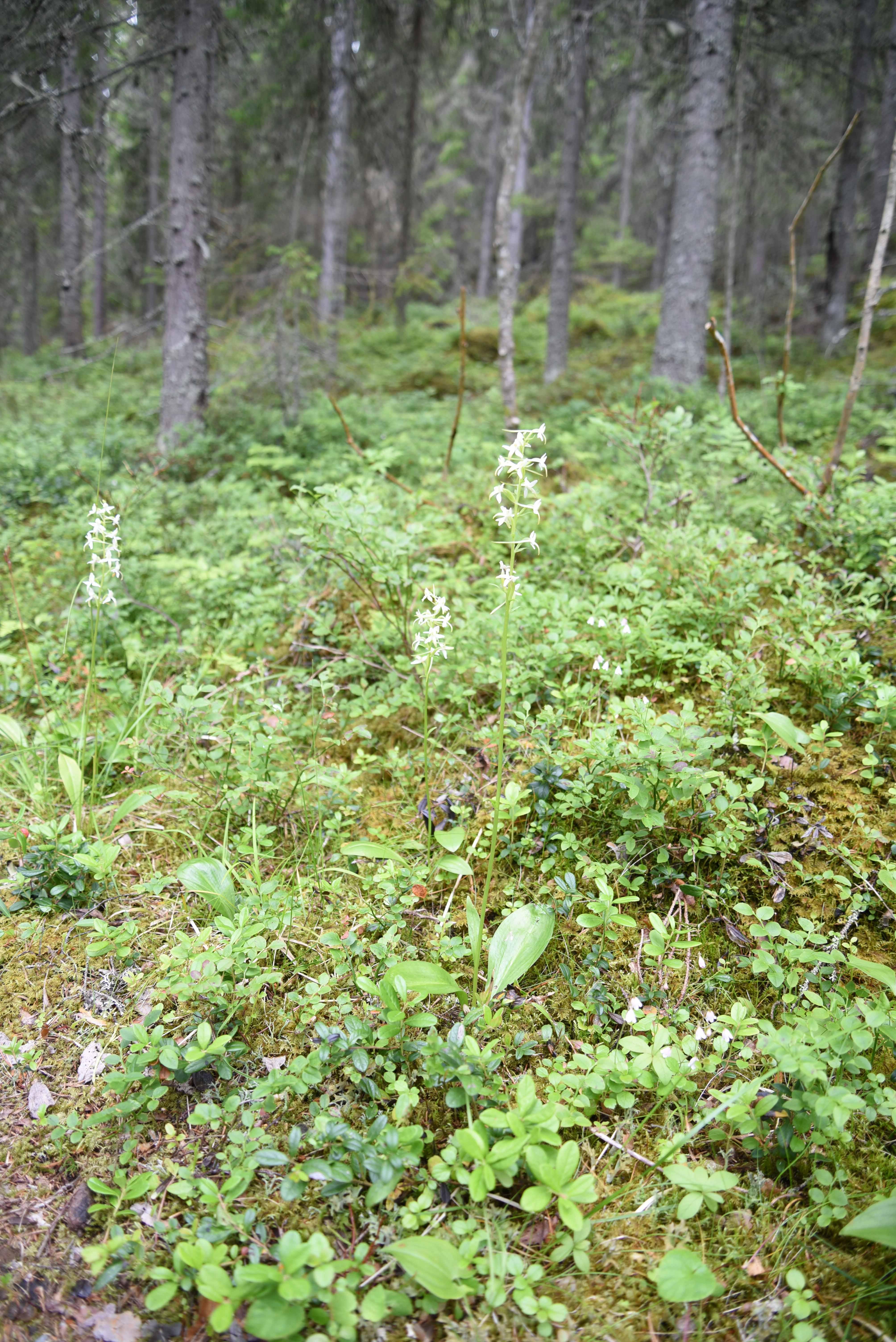 Nattviol Platanthera bifolia