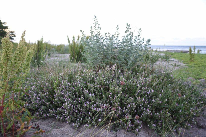 Busktörne Ononis spinosa eller puktörne puktörne (ssp. maritima)