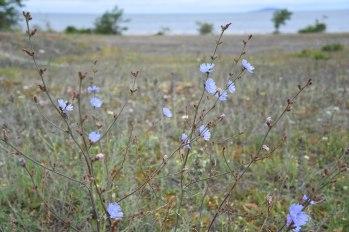 cikoria Cichorium intybus